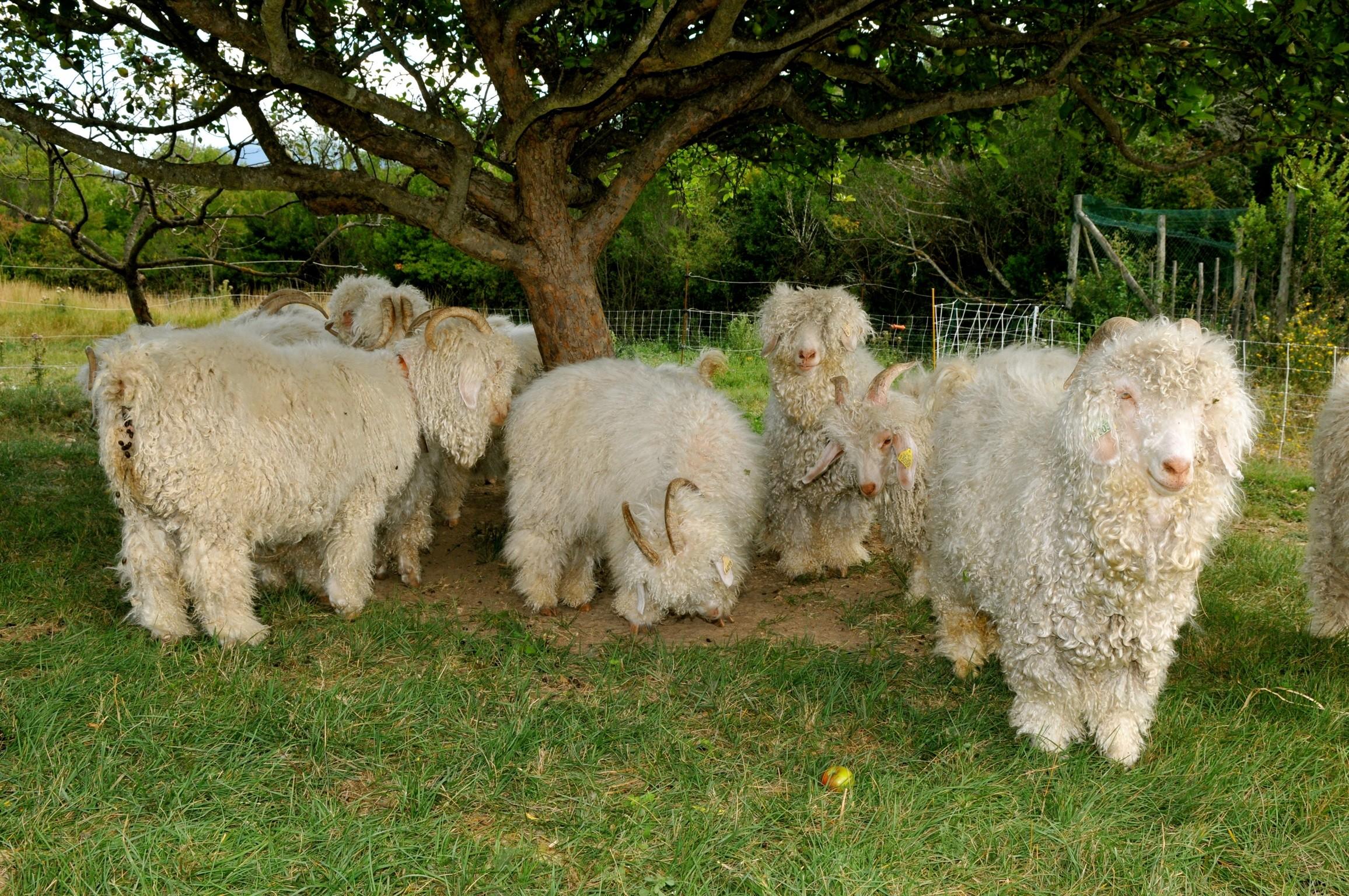 Elevage de chèvres angora à Salavas